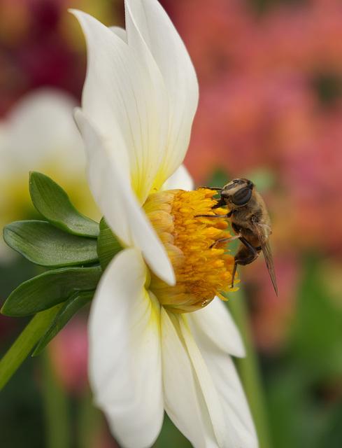 Little bee on a dahlia flower