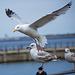 Seagull May set (44)
