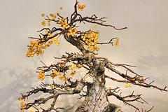 Bonsai Crab Apple Tree – United States National Arboretum, Washington, DC