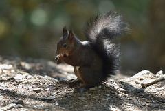 Un petit écureuil ...
