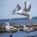 Seagull May set (45)