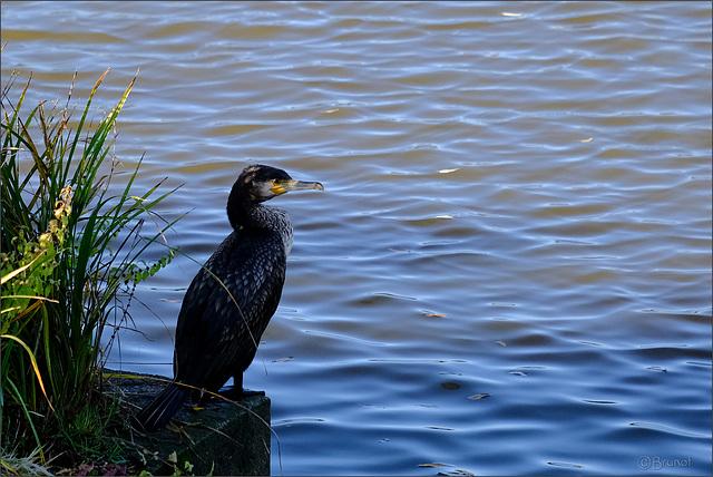 Cormoran à l'affut au bord d'un étang.