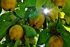 Ein Lichtblick im Quittenwald - Light rays in the quince grove