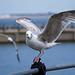 Seagull May set (46)