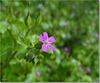 Geranium macrorhizum