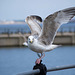 Seagull May set (47)