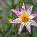 Pictures for Pam, Day 9: Blush & White Pinwheel Dahlia