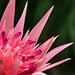 Unknown Beauty (Aechmea fasciata)