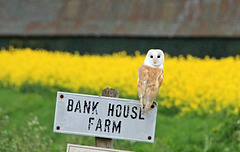 Welcome to my home ~ Barn Owl