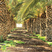 Ich bin dann mal weg: Palmenallee bei Pájara