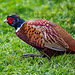Pheasant that walked with me