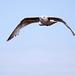 Seagull May set (49)