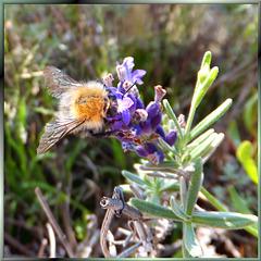 Bumblebee tasting lavender... ©UdoSm