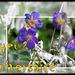 1-fleurs bleues
