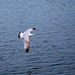 Seagull May set (50)