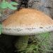 Pholiota destruens fungus on cut end of a log