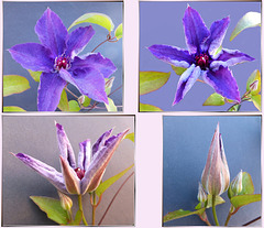 Clematis from bud to flower... ©UdoSm