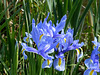 Blue Iris flower - East Blatchington Pond - 19.4.2017