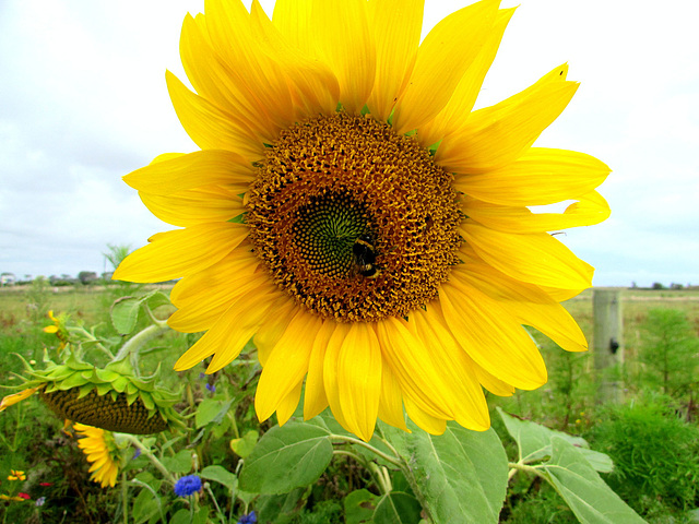 Bee On Sunflower.