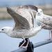 Seagull May set (51)