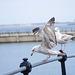 Seagull May set (52)