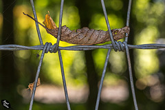 Leaf Balancing on Wire Fencing…It Must Be Happy Fence Friday! :D