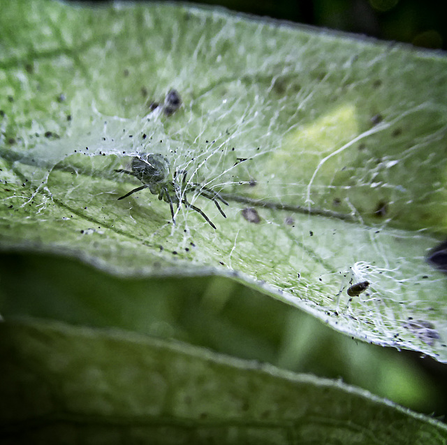A very small green spider