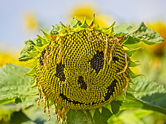Sunflower (2) - The Evil Twin