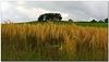Barley near the River Lune.