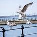 Seagull May set (54)