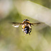 Hoverfly - DSB 2713