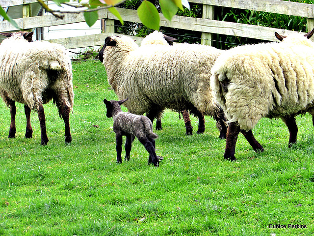 Ewes and a Lamb