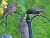 Feeding Baby Starlings!