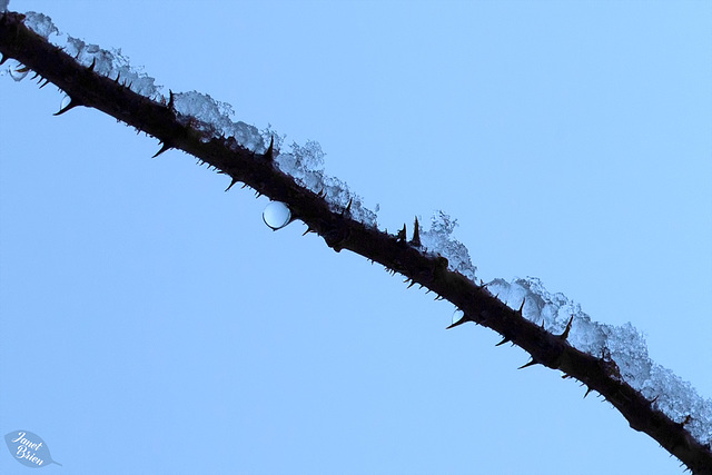 Pictures for Pam, Day 89: Snow on Thorns