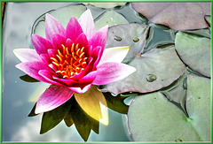 Pink water lily... ©UdoSm