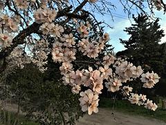 Almond blossom in evening light
