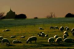 Moutons pré salé