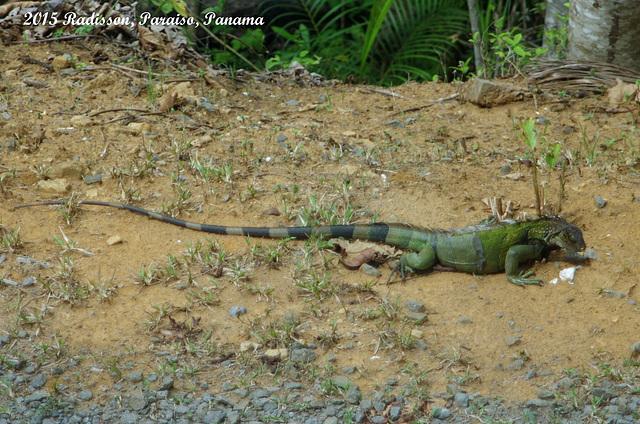 A Big Iguana