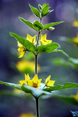 Lysimachia punctata ,Puntwederik