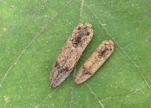 A Pair of Click Beetles