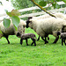 Lambs and Ewes.