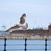 Seagull May set (57)