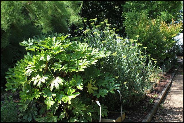 Bupleurum fruticosum (4)