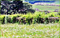 Field of Yarrow.