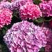 Hortensje na różowo :)