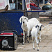 Goats and a generator