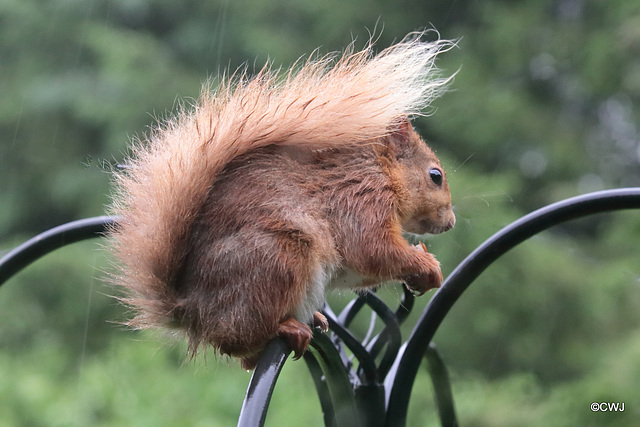 Tail as umbrella on a rainy morning!
