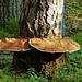 Artist's Conk (or Conch), Rusty Bucket Ranch bio-blitz