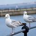 Seagull May set (60)