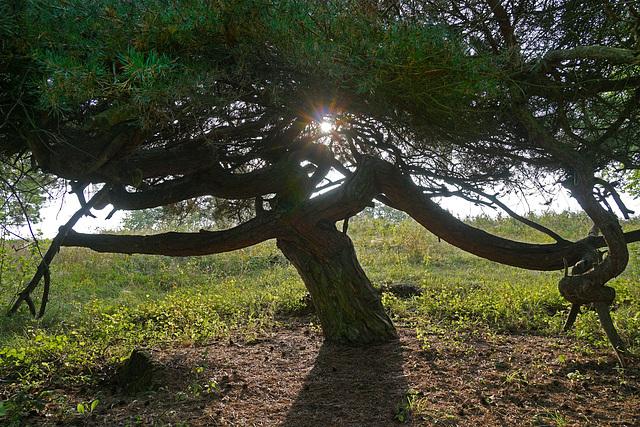Eine knorrige alte Kiefer - A gnarled old pine tree